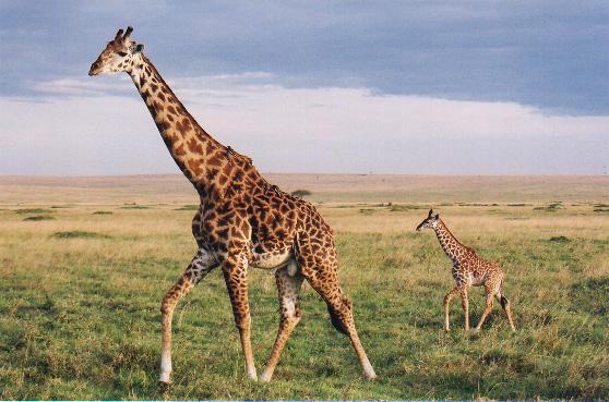 tall-Giraffe